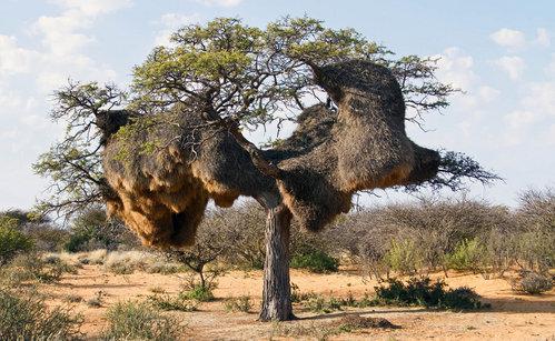 こちらはシャカイハタオリドリという鳥の巣です。小鳥なんですけど、集団になるとこんなもの作ります・・・。